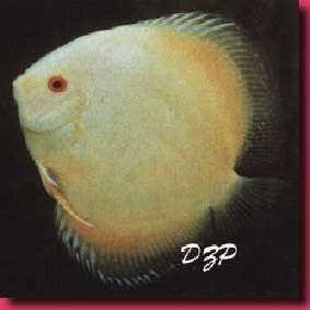 file:///Users/veronique/Documents/Aquaweb/images/-poissons/-moches/Discus_22.jpg